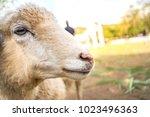 Portrait Of Sheep Close Up  ...