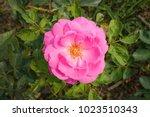 beautiful pink rose in a garden   Shutterstock . vector #1023510343