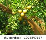 orange tree  orange  orange