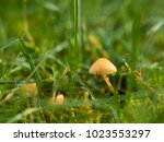 Small Mushrooms In The Grass...