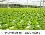 Organic hydroponic vegetable garden at Cameron Highlands Malaysia - stock photo