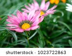 Pink Daisy Flowers On Grasses...