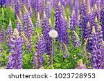 beautiful lupine flowers of... | Shutterstock . vector #1023728953