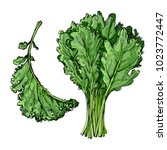 kale. the greens drawn by a... | Shutterstock .eps vector #1023772447