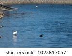 little egret  egretta garzetta ....   Shutterstock . vector #1023817057