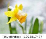 Close On A Daffodil In A Garde...