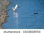 little egret  egretta garzetta  ...   Shutterstock . vector #1023828553