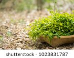 melientha suavis pierre wild... | Shutterstock . vector #1023831787