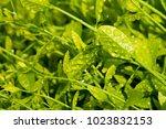 melientha suavis pierre in the... | Shutterstock . vector #1023832153