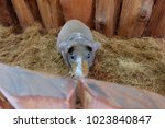 hairless guinea pig in the... | Shutterstock . vector #1023840847
