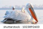 dalmatian pelican  pelecanus...   Shutterstock . vector #1023892603