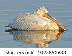 dalmatian pelican  pelecanus...   Shutterstock . vector #1023892633
