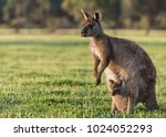 a western grey kangaroo with...   Shutterstock . vector #1024052293