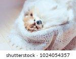 Little Fluffy Cloudy Pomerania...