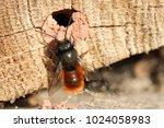 Small photo of Mason bee, Megachilidae, bees