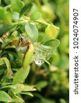 box tree moth | Shutterstock . vector #1024074907