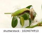 box tree moth | Shutterstock . vector #1024074913