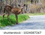 Deer Jumps Over The Asphalt...