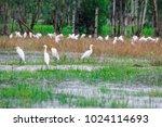 huge flock of great white...   Shutterstock . vector #1024114693