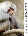 single hamadryas baboon in... | Shutterstock . vector #1024122157