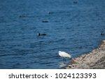 little egret  egretta garzetta .... | Shutterstock . vector #1024123393