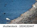 little egret  egretta garzetta ....   Shutterstock . vector #1024132447