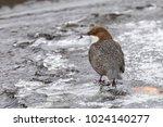 white throated dipper | Shutterstock . vector #1024140277