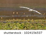 great egret in flight at a lake ... | Shutterstock . vector #1024156537