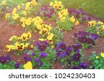 yellow and dark blue pansies in ... | Shutterstock . vector #1024230403