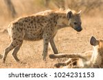 spotted hyena in kruger... | Shutterstock . vector #1024231153
