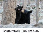 the late black bear mother ... | Shutterstock . vector #1024255687