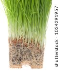 Small photo of Wheat grass root bound isolated on white background. As plants grown in containers mature, their developing roots eventually will run out of space. When this happens, the plant becomes root-bound
