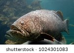 The Giant Grouper  Also Known...
