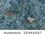 fossil shells on the rock  sea... | Shutterstock . vector #1024414267
