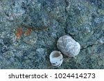 fossil shells on the rock  sea... | Shutterstock . vector #1024414273