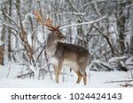 adult fallow deer buck close up.... | Shutterstock . vector #1024424143