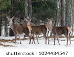 three magnificent deer. herd of ... | Shutterstock . vector #1024434547