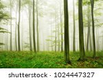 natural forest beech trees in... | Shutterstock . vector #1024447327