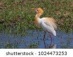eastern cattle egret  bubulcus...   Shutterstock . vector #1024473253