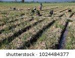 migrant workers harvest onions... | Shutterstock . vector #1024484377