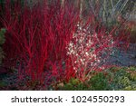 Cornus Alba 'sibirica' With...