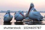 dalmatian pelican  pelecanus...   Shutterstock . vector #1024605787