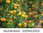 kumquat tree. together with... | Shutterstock . vector #1024611013