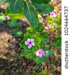 Small photo of Pink Vinca flower in sunlight
