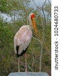 a large yellow billed stork ...   Shutterstock . vector #1024680733