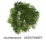 mangrove tree top view on white ... | Shutterstock . vector #1024734007