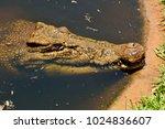 head of saltwater crocodile ... | Shutterstock . vector #1024836607