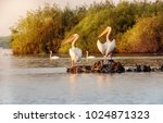 pelican colony in danube delta... | Shutterstock . vector #1024871323