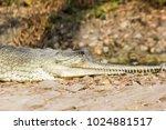 indian fresh water alligator... | Shutterstock . vector #1024881517