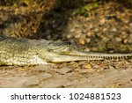 indian fresh water alligator... | Shutterstock . vector #1024881523